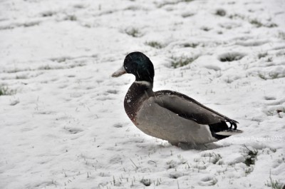 Frozen beak duck in the snow