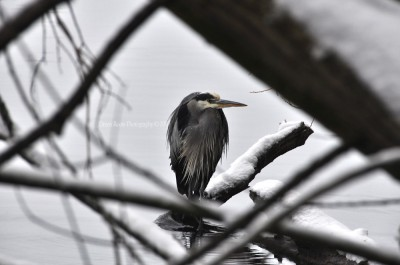 Cold Heron on snowy branch