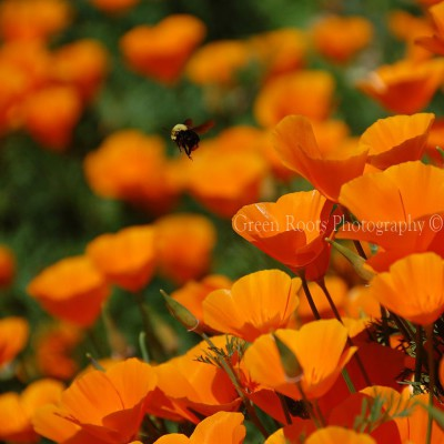Bee and California Poppies