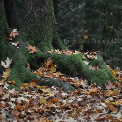 Mossy Roots and Fall Leaves